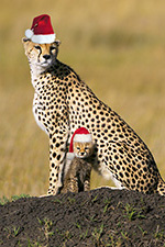 A Cheetah Christmas