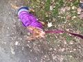 A cute Chihuahua out for a walk - chihuahuas photo