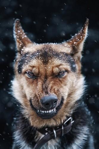 <b>Angry dog</b> t-shirt | GIVENCHY LOVE | Pinterest