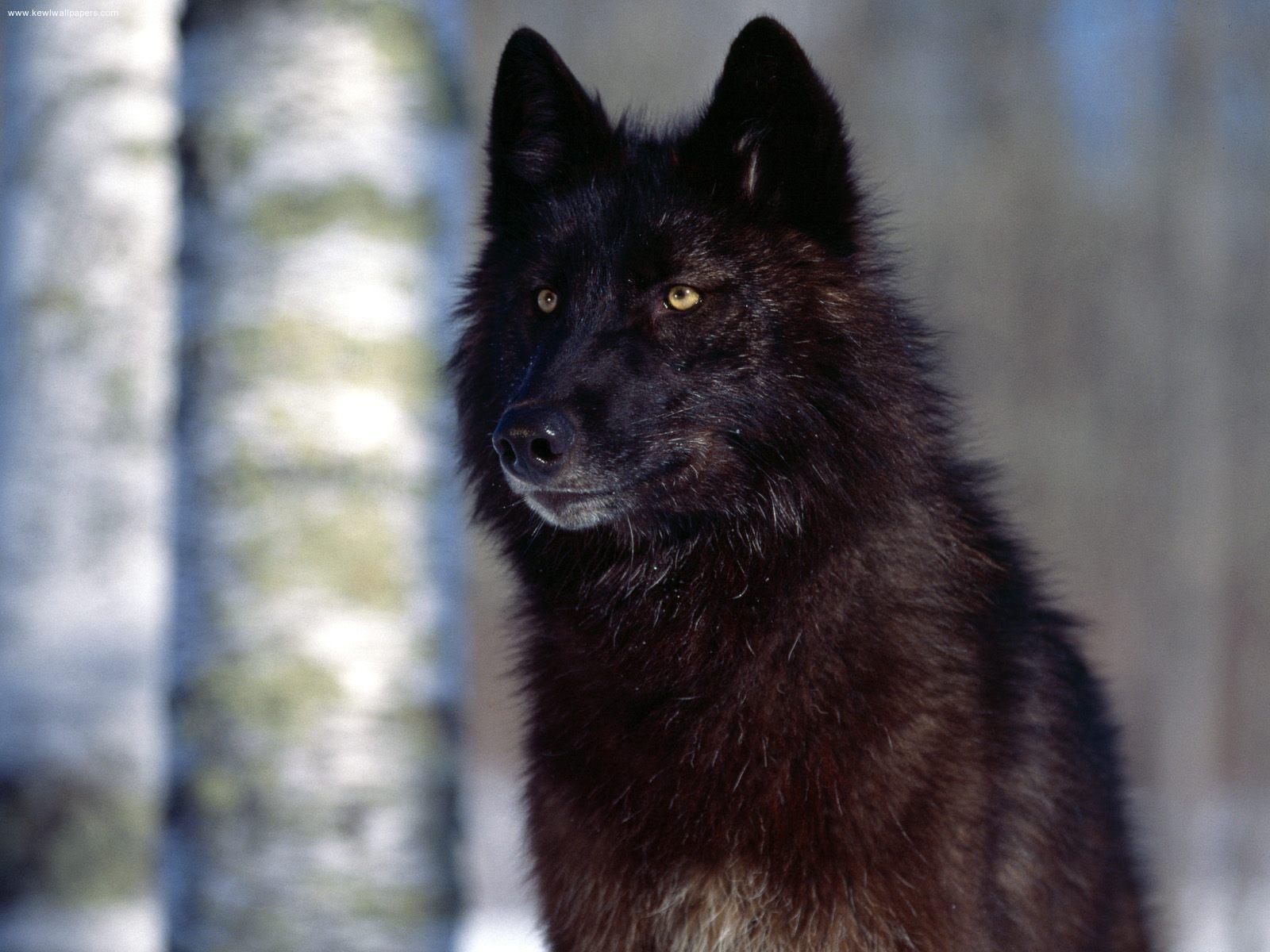 Beautiful Black serigala