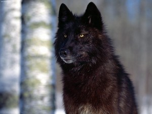 Beautiful Black loup