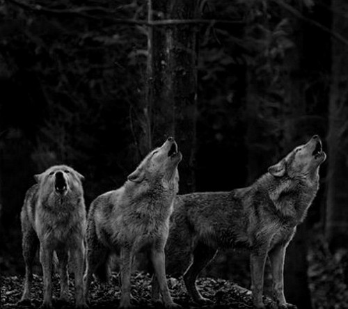 firewolf12 images very pretty wolf pack wallpaper and background