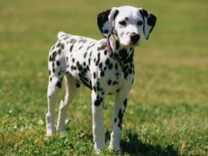 1 سال old Dalmatian