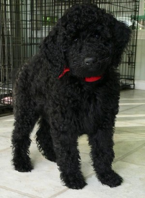2 month old poodle puppy