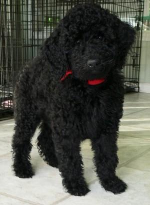 2 월 old poodle 강아지