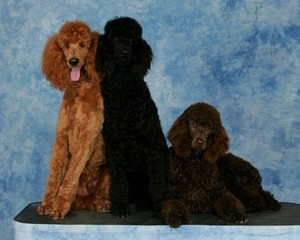 Apricot,Black and brown Poodle