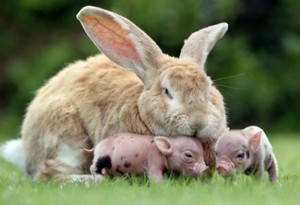 Bunny and Pigs