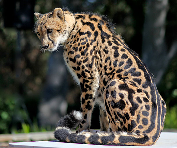 Fisher2000 Images King Cheetah Wallpaper And Background Photos