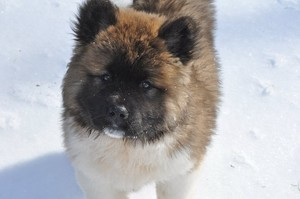 Long haired Akita puppy