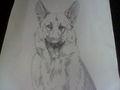 My German Shepherd drawing - dogs fan art