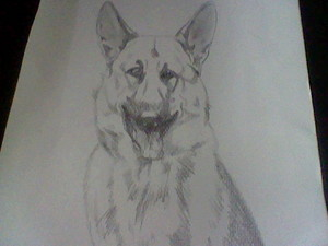 My German Shepherd drawing
