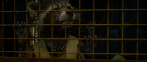 Guardians of the Galaxy 바탕화면 probably with a common opossum and an opossum entitled Rocket Raccoon: Quill?