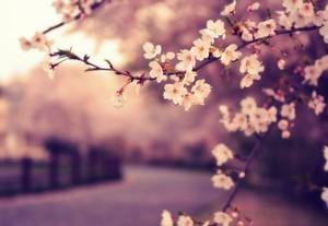 The beautiful sakura flowers