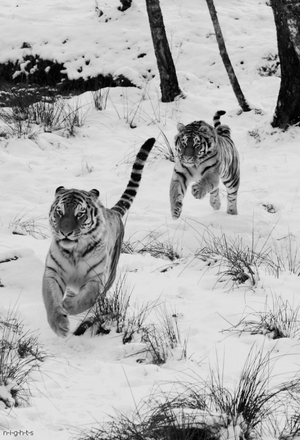 बाघों