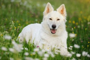 White German Sheperd