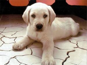 baby blond labbie