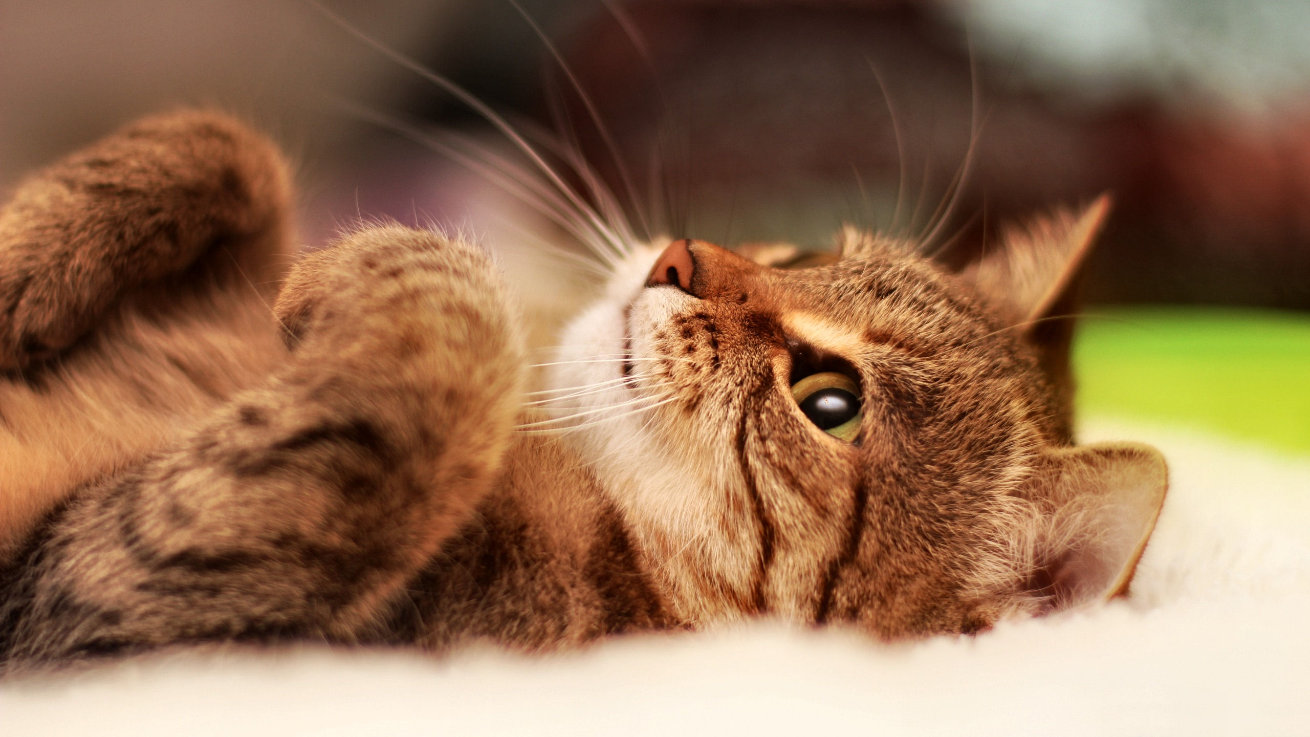 壁纸 动物 猫 猫咪 小猫 桌面 2560_1440
