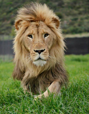 My Lioncalled Lion