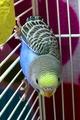 Parakeet Pipi