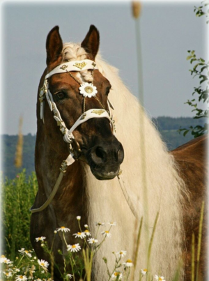 beautiful haflinger