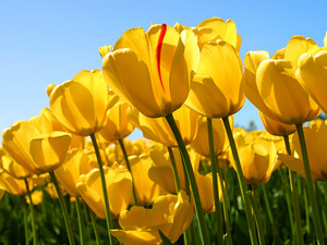this is a picture of tulips