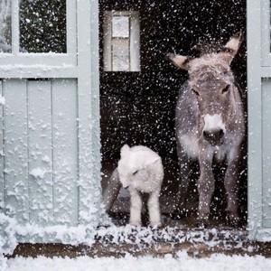 Donkey and भेड़