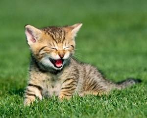 Kitty Tiger