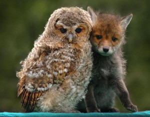 Baby rubah, fox and Owl