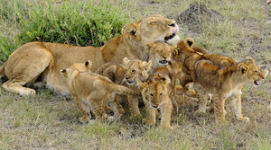 Lion cubs and their mother