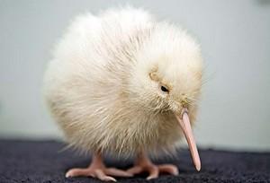 Little white kiwi
