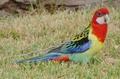 ☆rosella papegaai