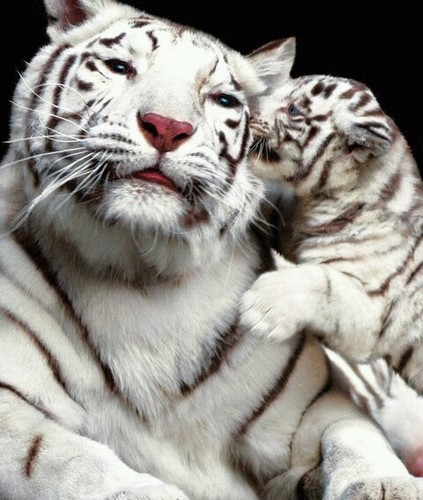 Dreamtime wallpaper containing a tiger cub and a bengal tiger titled ☆