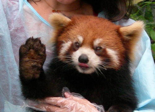 Dreamtime 바탕화면 probably with a lesser panda entitled ☆