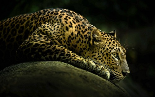 Dreamtime wallpaper probably containing a leopard called ☆