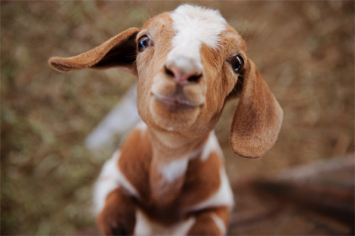 Animals wallpaper entitled Baby Goat