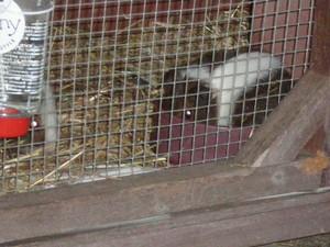 Baby Guinea Pig चित्रो