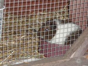 Baby Guinea Pig fotos