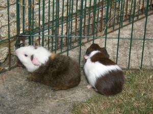 Baby Guinea Pig các bức ảnh