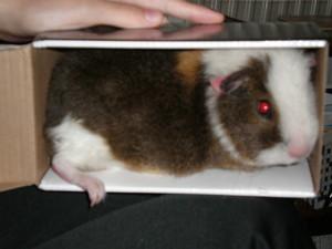 Baby Guinea Pig fotografias