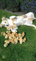 Dog and Chicks  - dogs photo