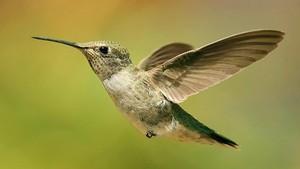 beija flor, beija-flor in Flight