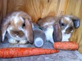 Lop Eared Rabbits