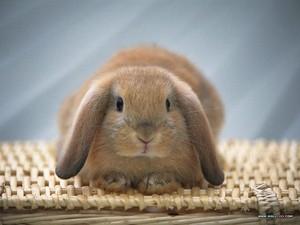 Lop Eared Rabbits