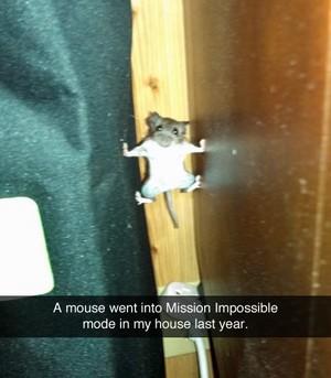 쥐, 마우스