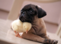 Pug and Chick - dogs photo