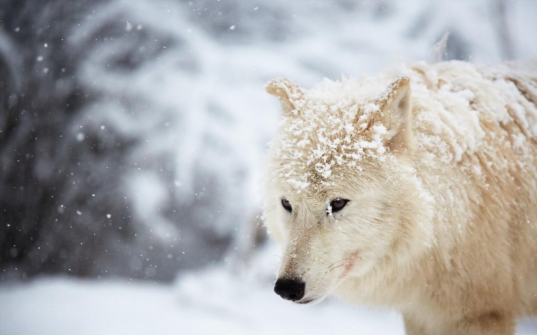 动物 壁纸 entitled 狼