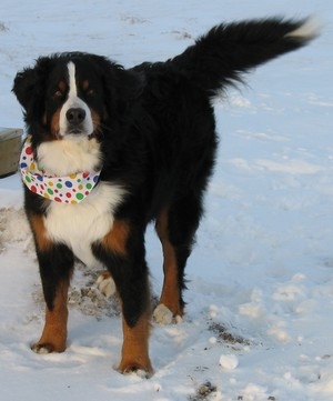 berner sennenhund, bernese mountain dog