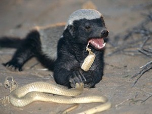 A Honey texugo eating a cobra