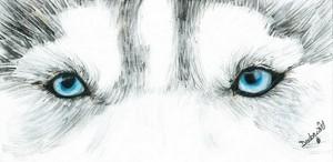 Blue lobo eyes