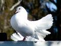 Doves             - doves wallpaper